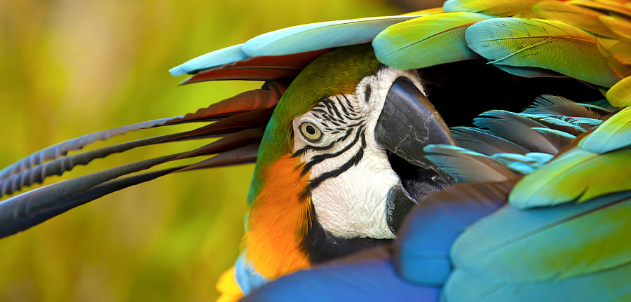 Blue Macaw Photograph - Vibrance by Jennifer Harrington Relyea