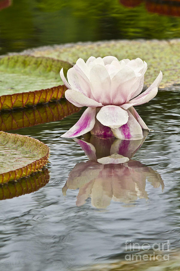 Victoria Amazonica Water Lily Flower Vertical Photograph