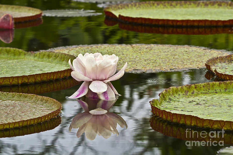 Victoria Amazonica Flowering Photograph