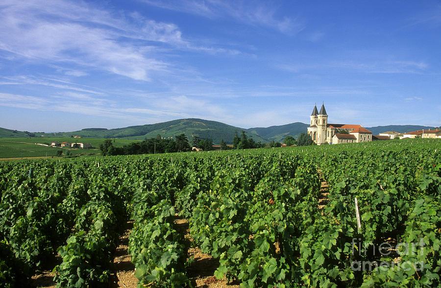 Winery Photograph - Vineyard. Regnie-durette. Beaujolais Wine Growing Area. Departement Rhone. Region Rhone-alpes. Franc by Bernard Jaubert
