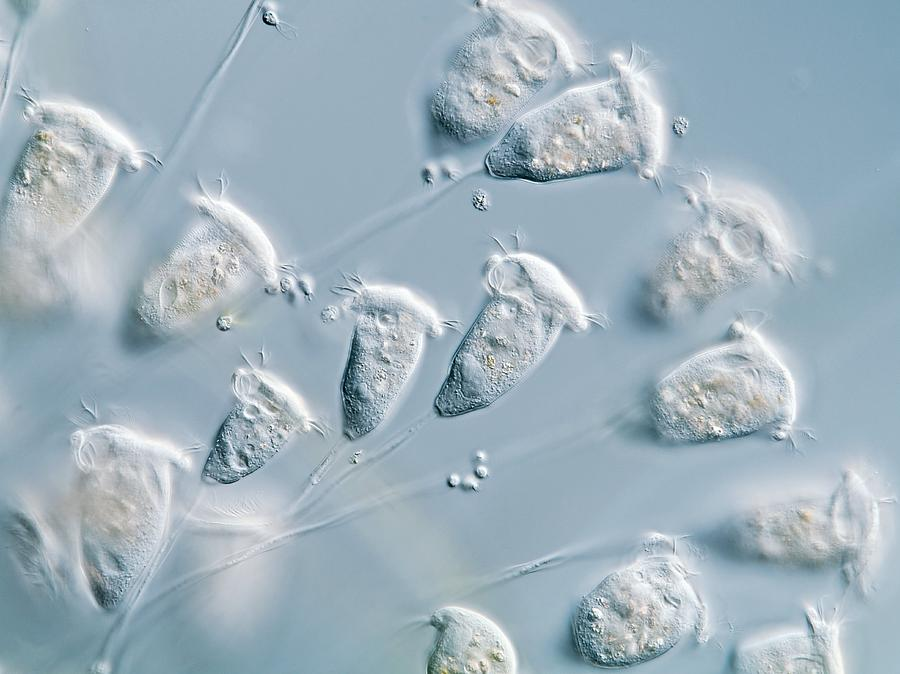 Animal Photograph - Vorticella Protozoa, Light Micrograph by Gerd Guenther
