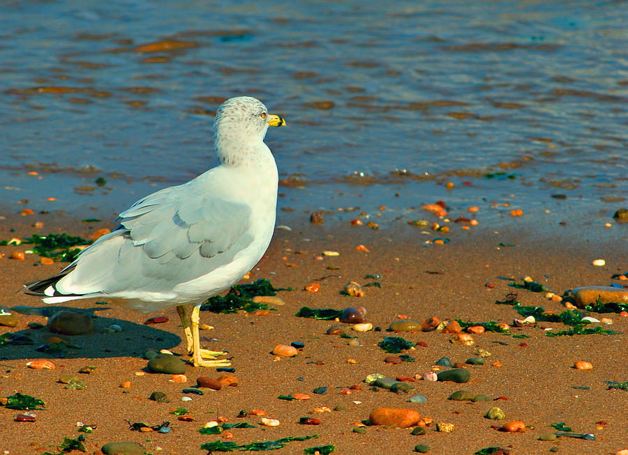 Seagull Photograph - Waiting Patiently by Michelle Cruz