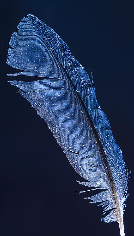 Stellar Photograph - Wet Jay by Jean Noren