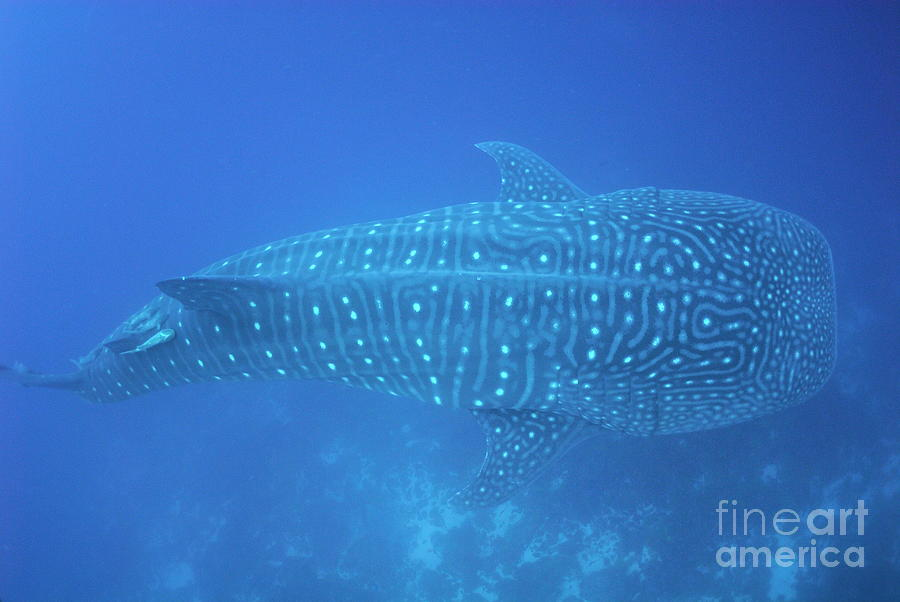 Freedom Photograph - Whale Shark by Sami Sarkis