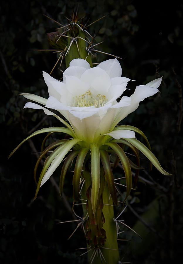 Echinopsis Photograph - White Echinopsis Flower  by Saija  Lehtonen