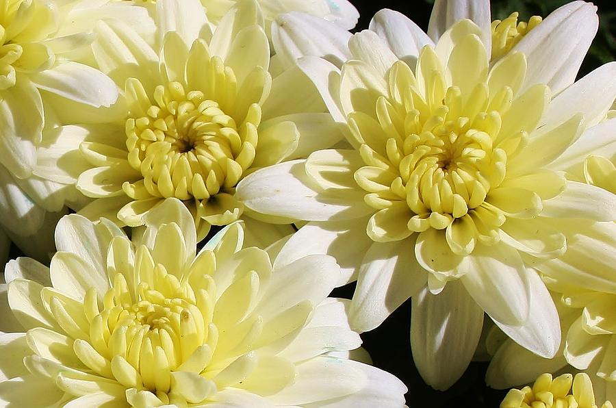 Flora Photograph - White Mums by Bruce Bley