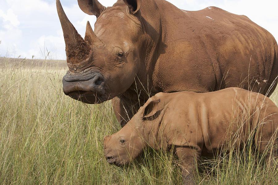White Rhinoceros Ceratotherium Simum Photograph by Matthias Breiter