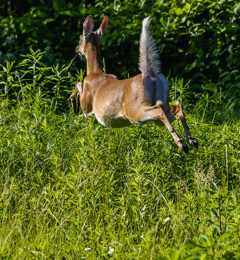 White-tailed Deer Photograph by Brian Stevens