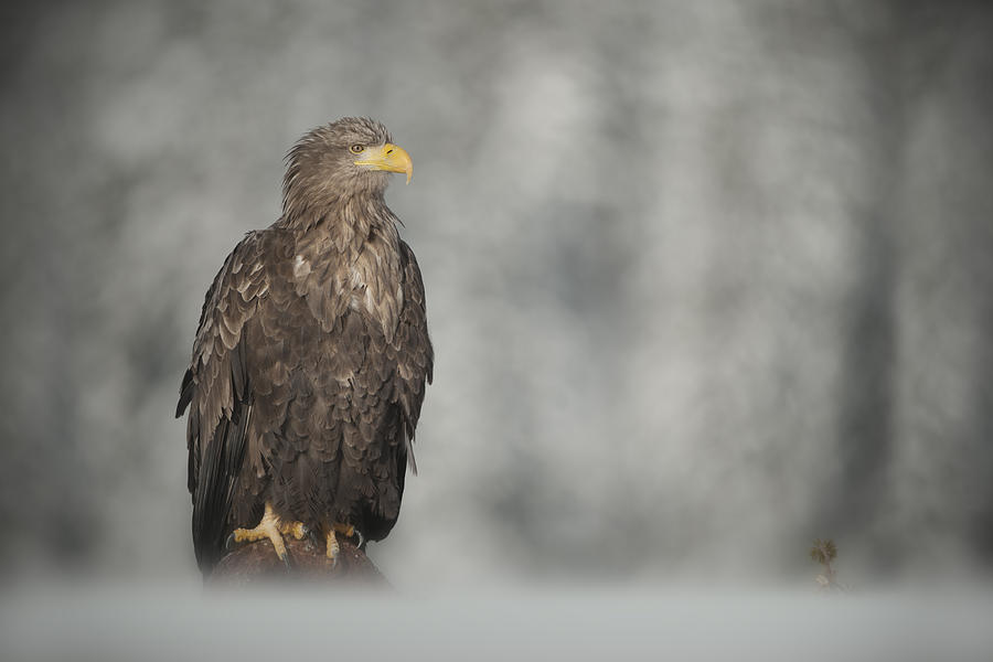 Eagle Photograph - White-tailed Eagle by Andy Astbury