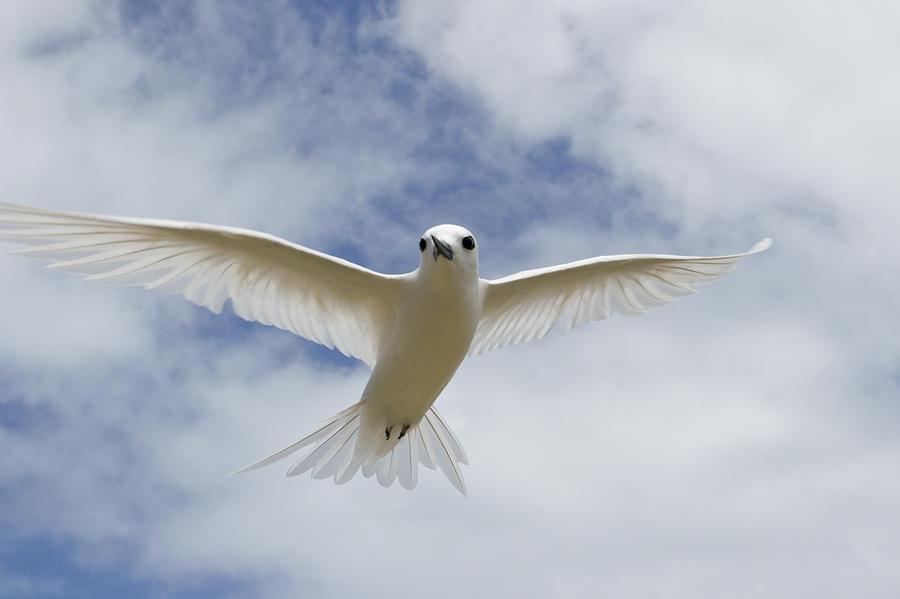 White Tern Flying Midway Atoll Hawaiian Photograph by Sebastian Kennerknecht