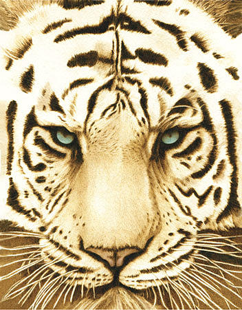 Tiger Drawing - White Tiger by Cate McCauley
