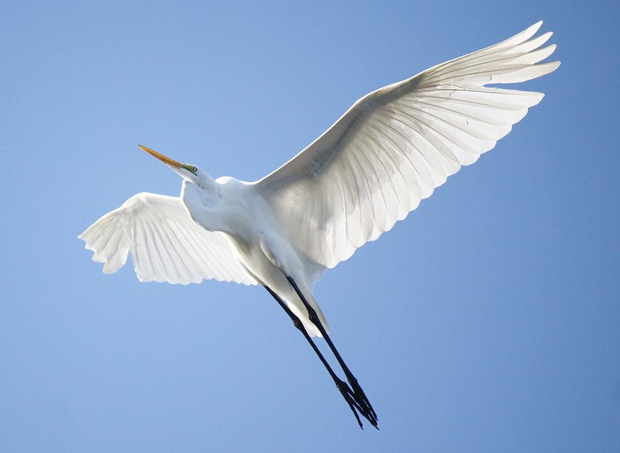 Great White Egret Photograph - Wings by Paulette Thomas