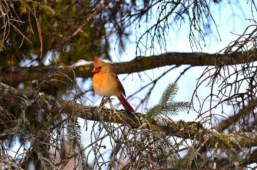 Winter Photograph - Winter Cardinal by Luminita Suse