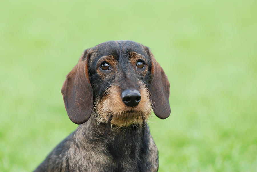 Dachshund Photograph - Wire-haired Dachshund Dog  by Waldek Dabrowski