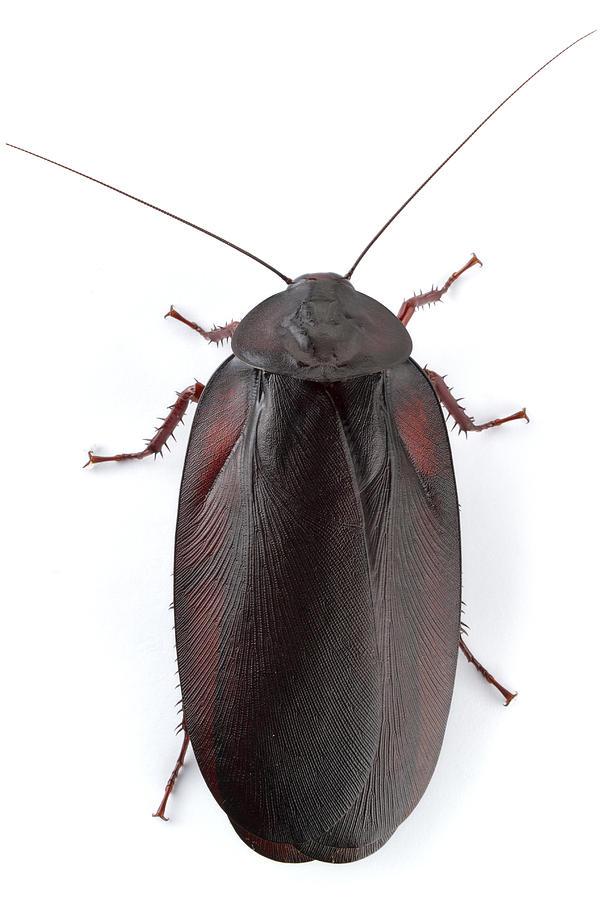 Wood Cockroach Barbilla Np Costa Rica Photograph by Piotr Naskrecki