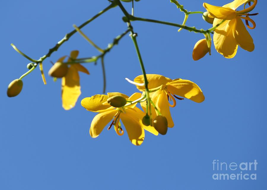 Cassia Photograph - Yellow And Blue by Theresa Willingham