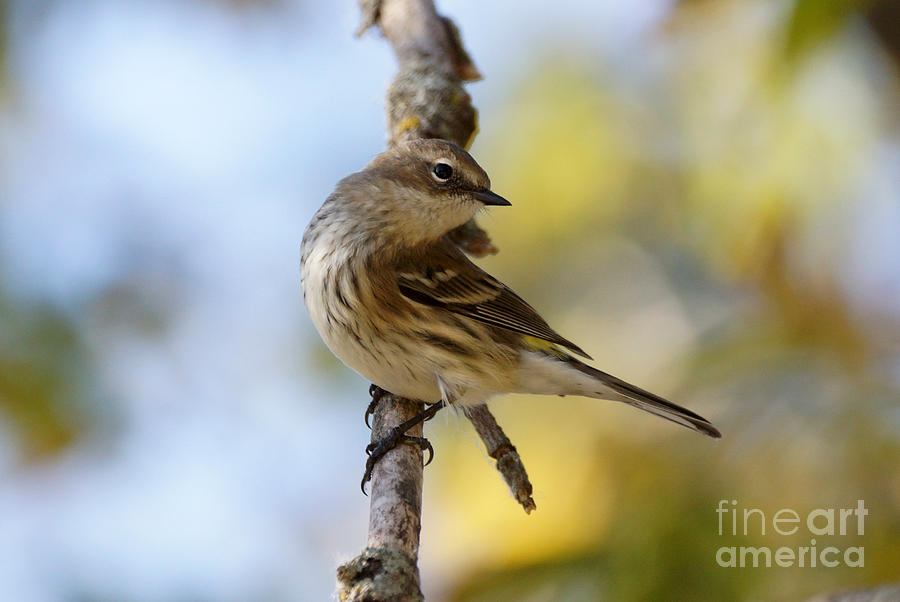 Birds Photograph - Yellow-rumped Warbler by Lori Tordsen