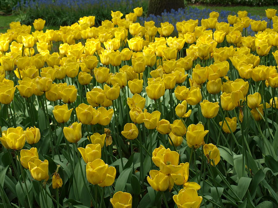 Flowers Photograph - Yellow Tulips 2 by Larry Krussel