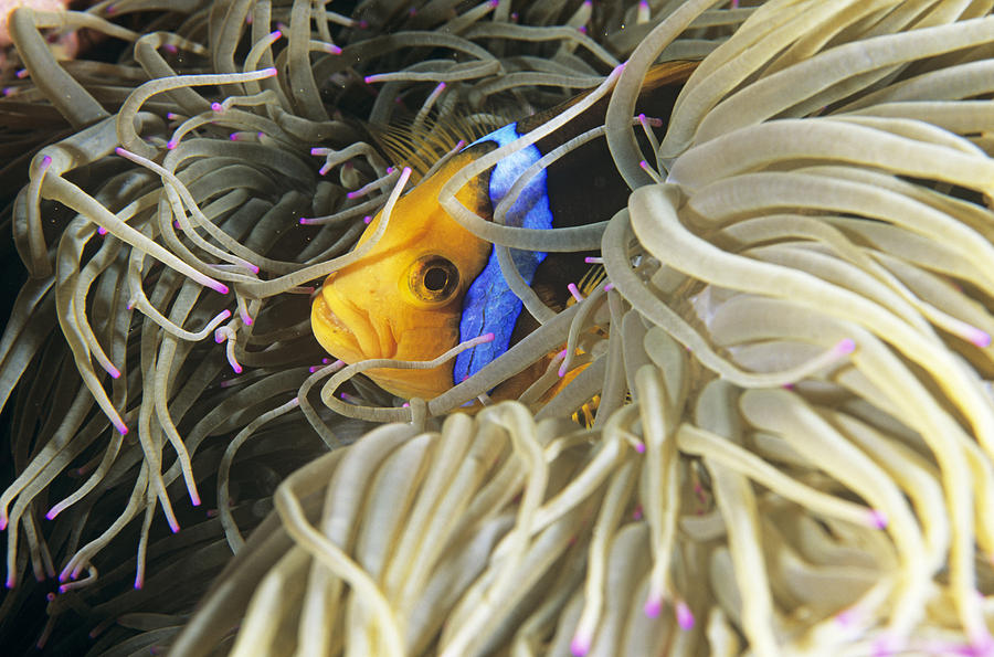 Heteractis Magnifica Photograph - Yellowtail Anemonefish In Its Anemone by Alexis Rosenfeld