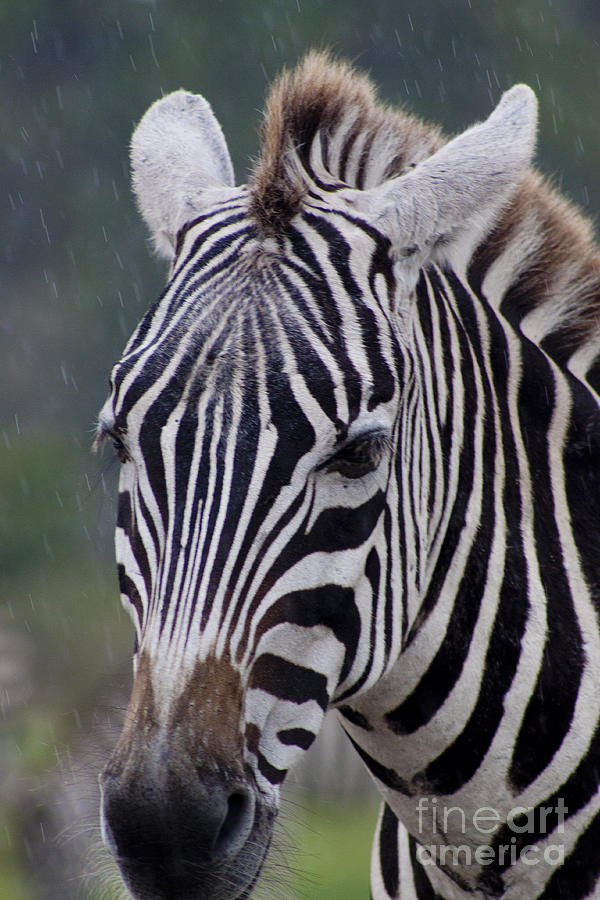 African Photograph - Zebra by Thomas Marchessault