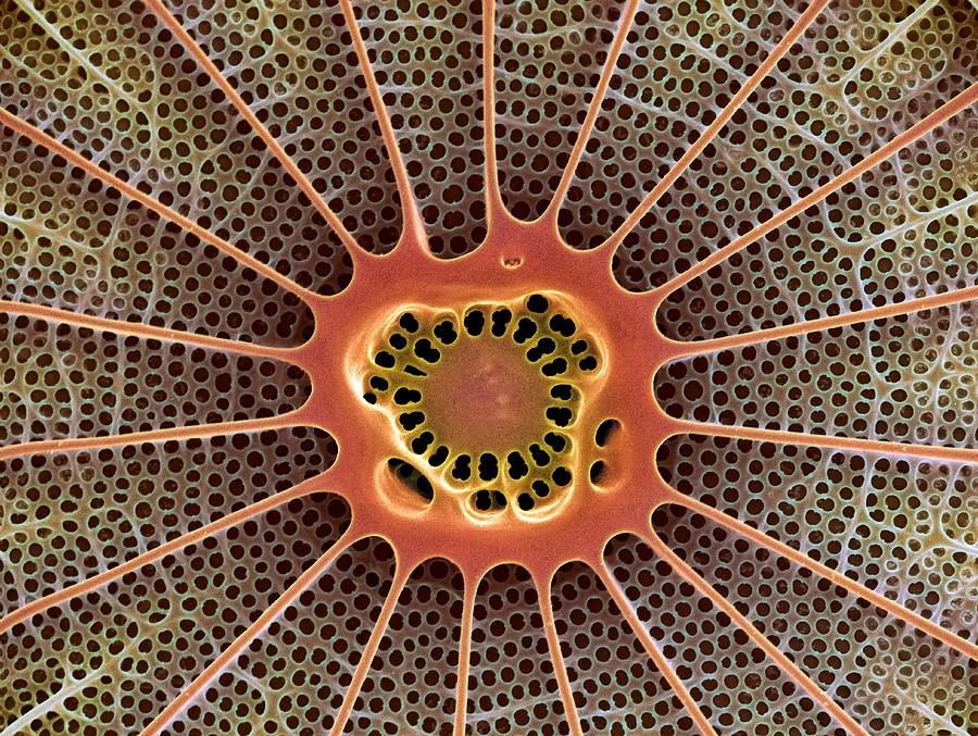 Alga Photograph - Diatom, Sem by Steve Gschmeissner
