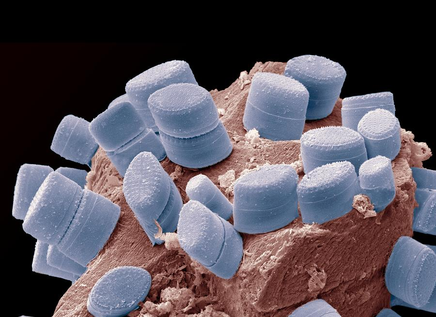 Alga Photograph - Diatoms, Sem by Steve Gschmeissner