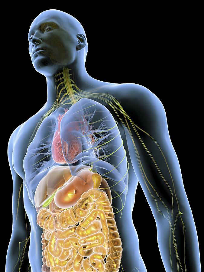 Organ Photograph - Human Male Anatomy, Artwork by Pasieka