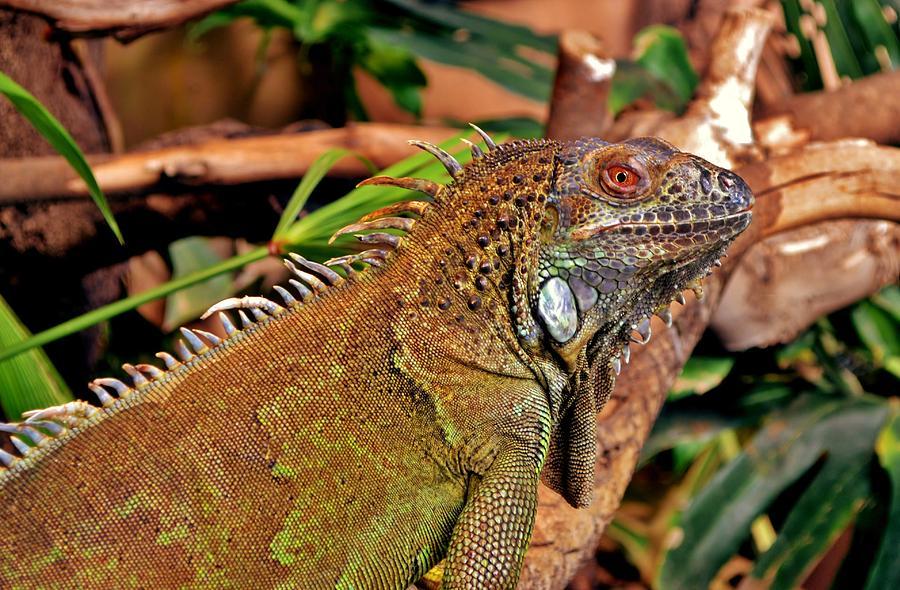 Iguana Lizard Photograph by Werner Lehmann