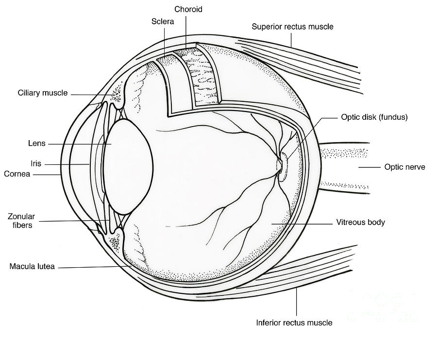 Illustration Of Eye Anatomy Photograph by Science Source