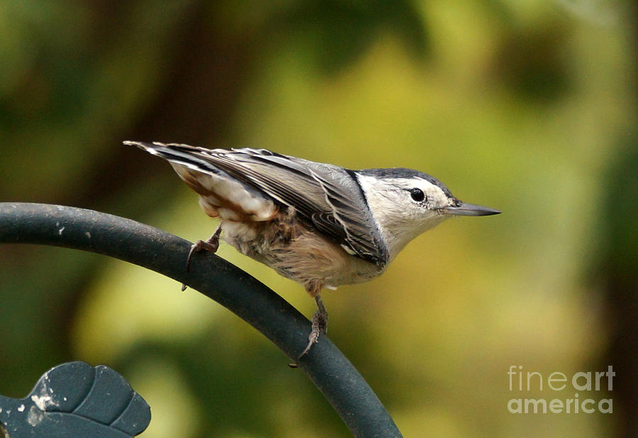 Birds Photograph - Nuthatch by Lori Tordsen