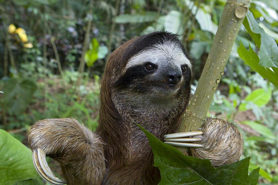 Mp Photograph - Brown-throated Three-toed Sloth by Suzi Eszterhas