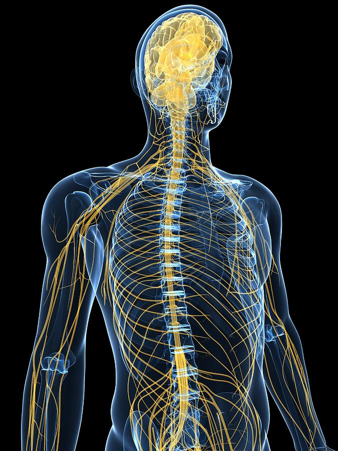 Human Nervous System Importantly Web Photo Gallery With Human ...