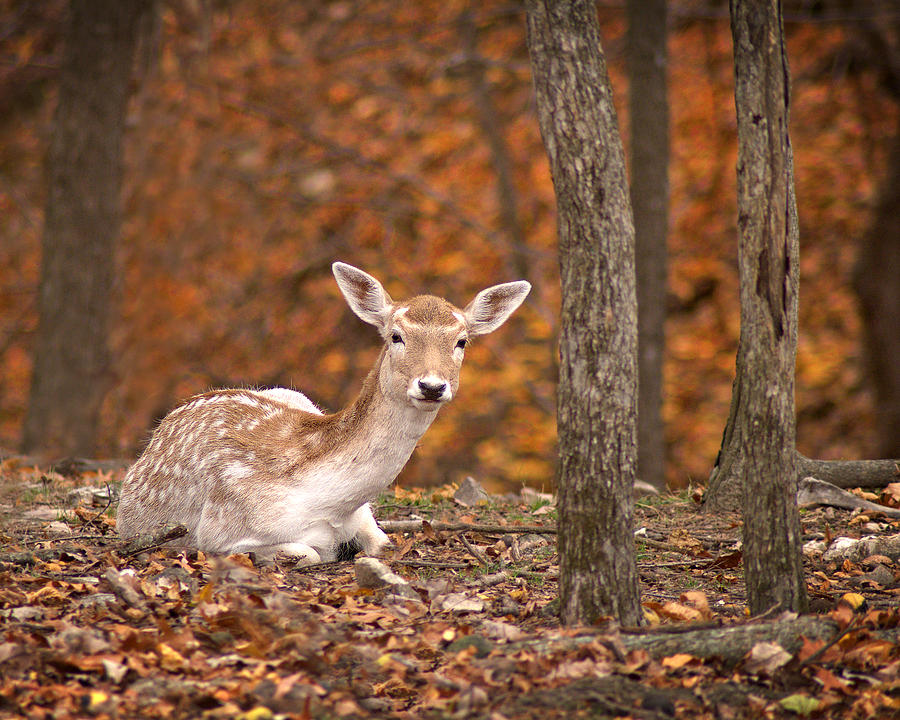 Arkansas Photograph - 1111-7638 Fawn In Fall by Randy Forrester