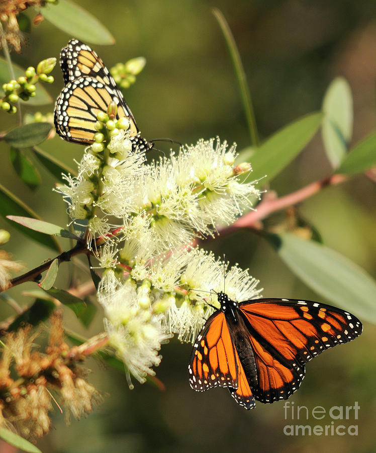 Butterflies Photograph - Butterflies by Marc Bittan