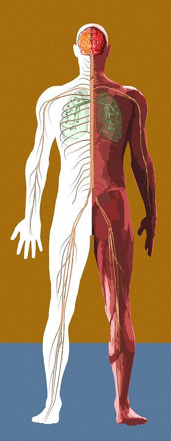 Anatomical Photograph - Human Anatomy, Artwork by Mehau Kulyk