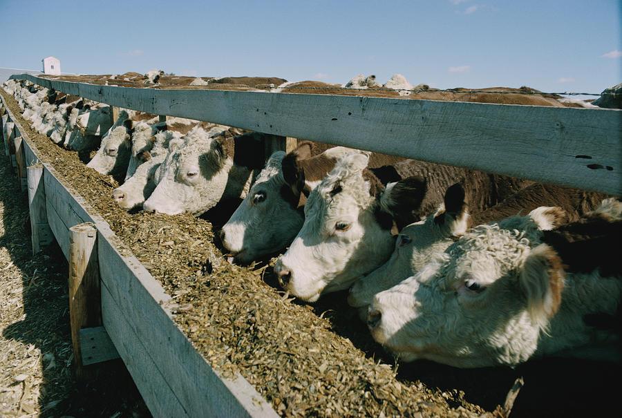 Hereford Cattle Photograph - Untitled by Joe Scherschel