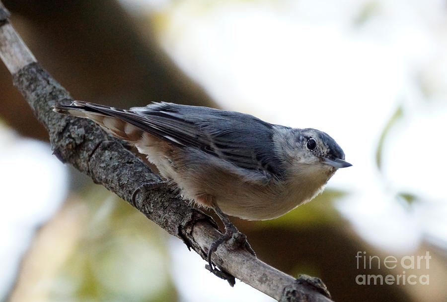Birds Photograph - Nuthatch by Lori Tordsen