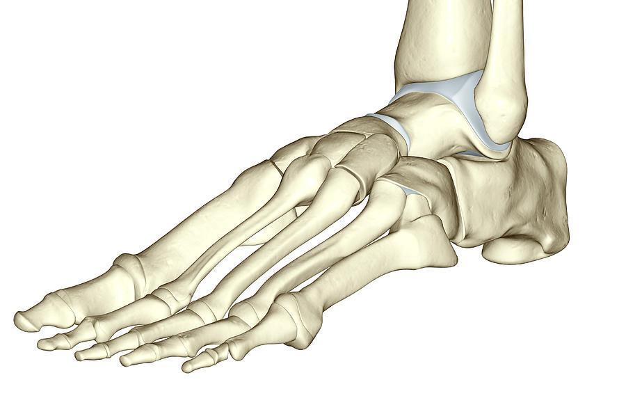 The Bones Of The Foot Digital Art By Medicalrf
