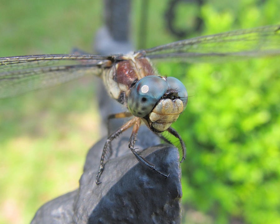 Dragonfly Photograph - Dragonfly by Michele Caporaso