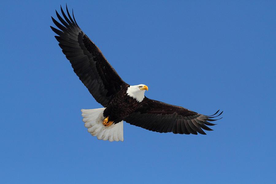 American Bald Eagle Photograph By Doug Lloyd