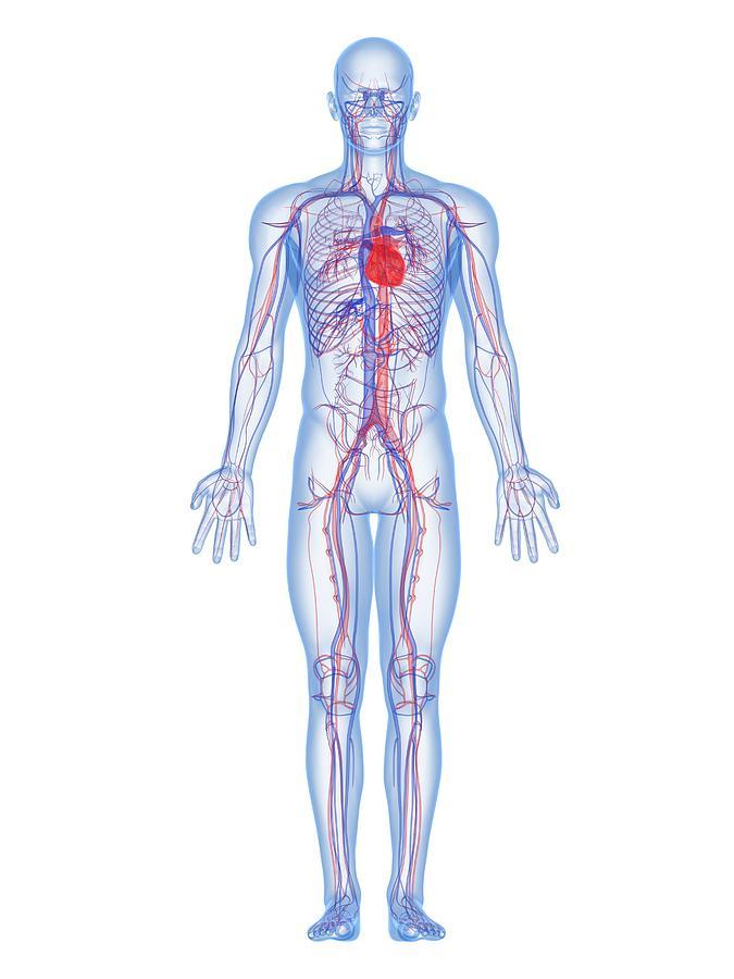 Artwork Photograph - Cardiovascular System, Artwork by Sciepro