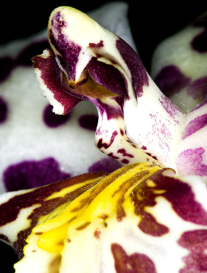 Orchid Photograph - Exotic Orchid Flower by C Ribet