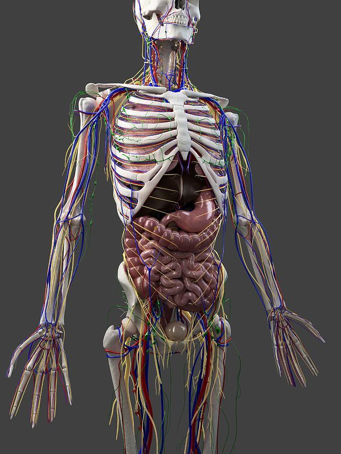 Artwork Photograph - Human Anatomy, Artwork by Sciepro
