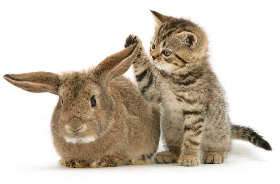 Rabbit Photograph - Rabbit And Kitten by Jane Burton