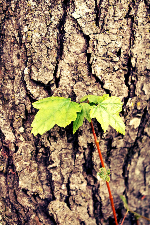 Tree Photograph - Unknown by Amanda  Middlebrook