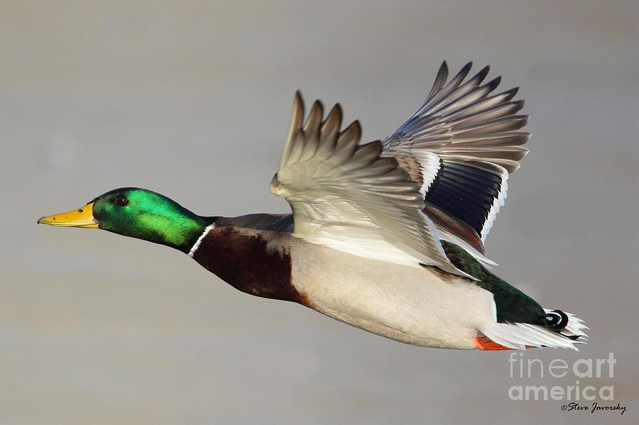 Male Mallard Duck In Flight Photograph By Steve Javorsky