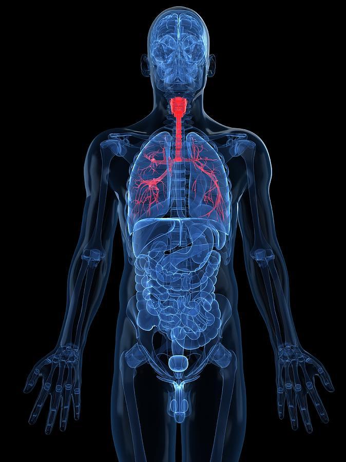 Human Lungs, Artwork Digital Art by Sciepro