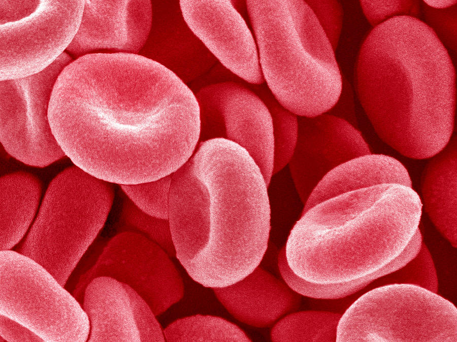 Red Blood Cell Photograph - Red Blood Cells, Sem by Susumu Nishinaga