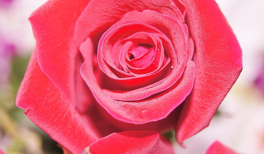 Rose Photograph by Gornganogphatchara Kalapun