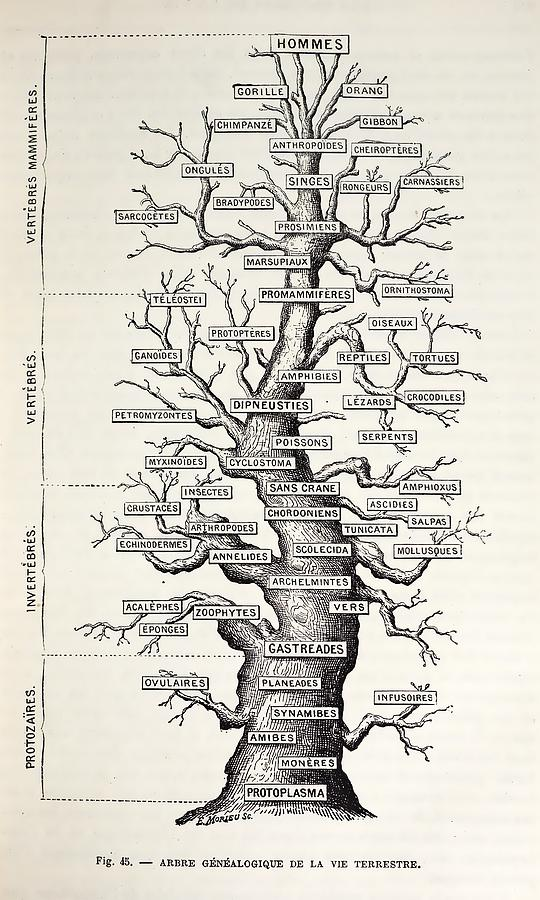 1886 French Copy Haeckel Tree Of Life Photograph By Paul